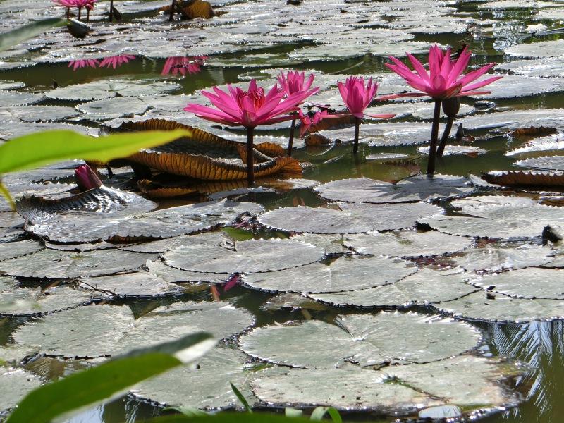 lilypadsandflowers